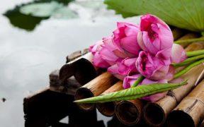 saison du lotus a hanoi