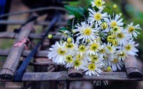 fleur de daisy blancs hanoi