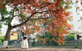 Jeunes filles se promenant sous un magnifique flamboyant