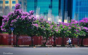 Fleurs Bang Lang dans les rues de Hanoi