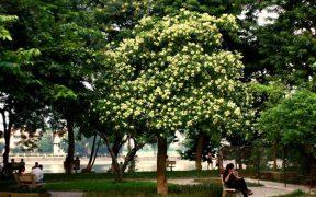 fleurs sua au bord d'un lac à hanoi vietnam
